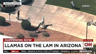 Llamas On The Lam In Arizona - CNN
