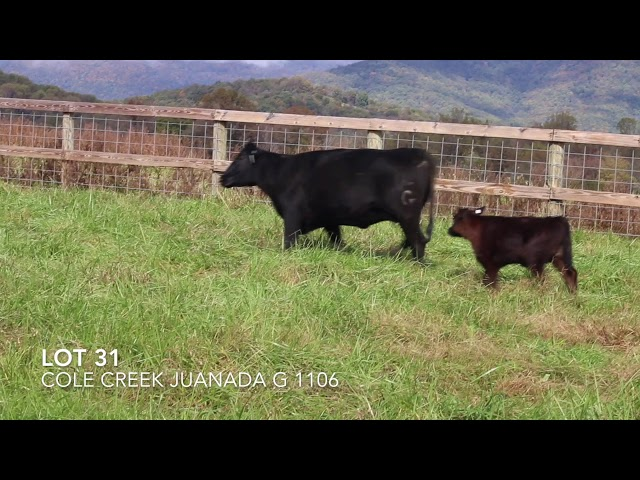 Ginger Hill Angus Lot 31