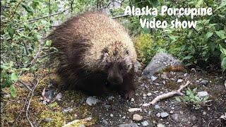 Alaska cute Porcupine Video sh…