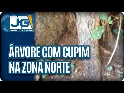 Árvore com cupim na zona norte da capital paulista