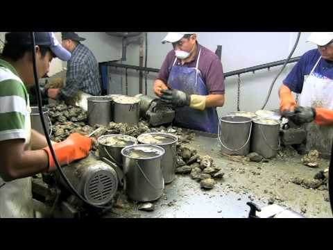 oyster shucking machine