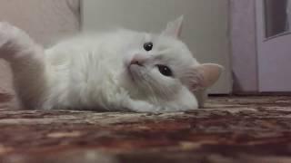 WHITE CAT. БЕЛАЯ КОШКА