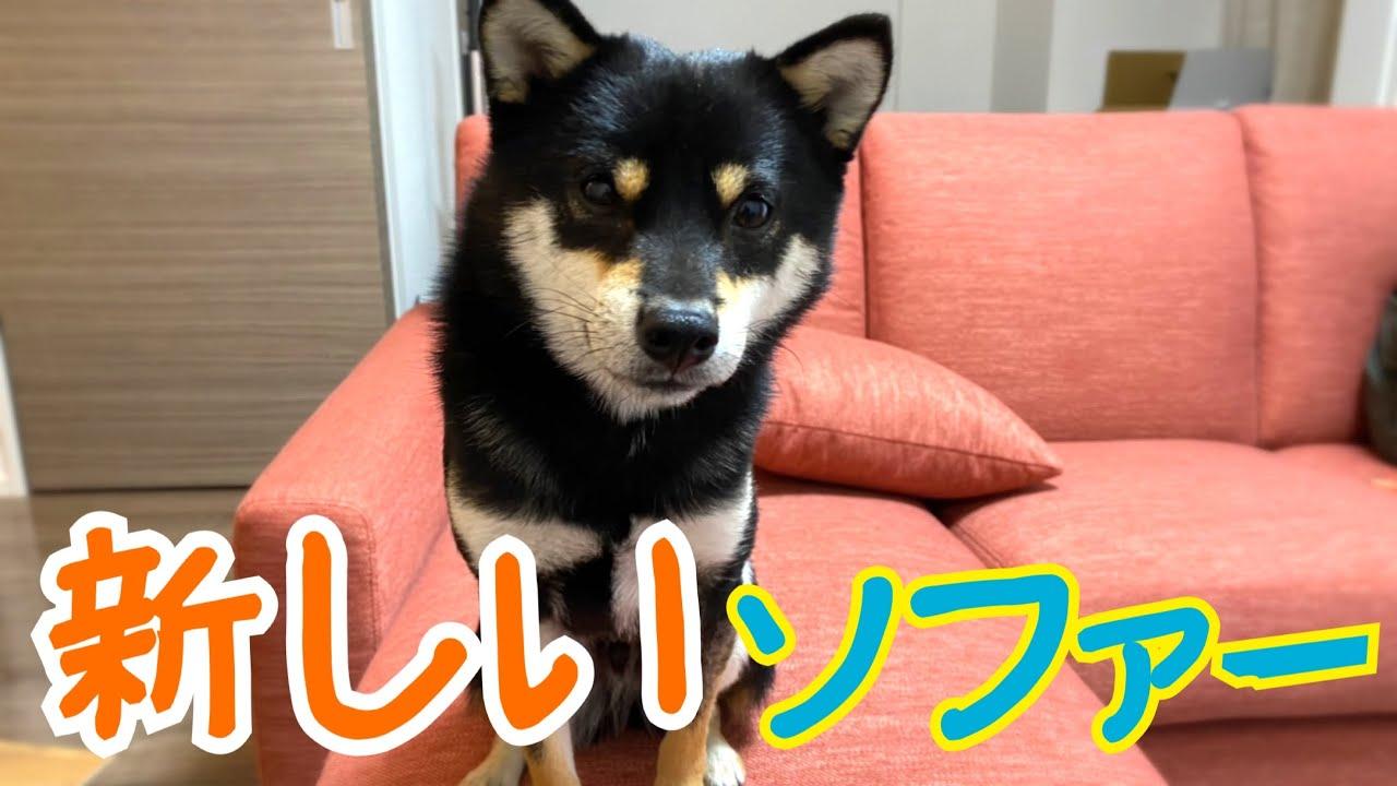 【豆柴】新しいソファーでくつろぐ柴犬。Shiba Inu dogs relaxing on a new sofa