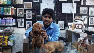French Mastiff information Show Quality vs.Pet Quality By Saurabh verma call 7275863266 / 9369347740