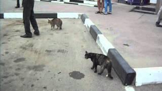 Кошки-голодранки атакуют пса. 2.