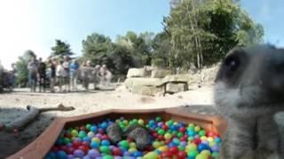 Meerkats 360 Footage At Rzss Edinburgh Zoo!
