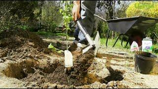 Jak sadzić borówkę