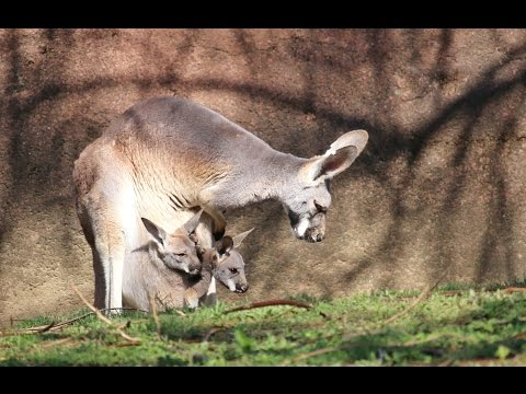 Along for the ride! Two kangaroo joeys in one pouch at Saint Louis Zoo