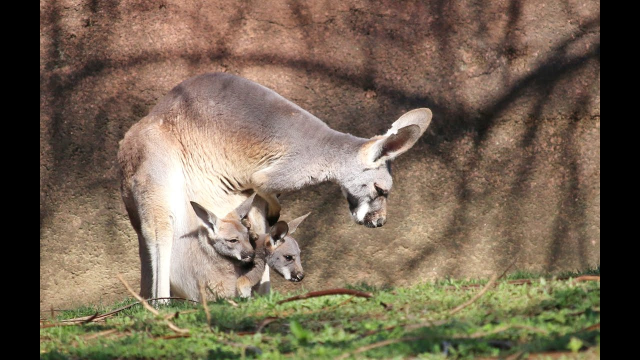 Two Kangaroo Joeys In One Pouch At Saint Louis Zoo