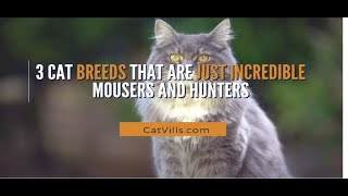 3 CAT BREEDS THAT ARE JUST INCREDIBLE MOUSERS AND HUNTERS