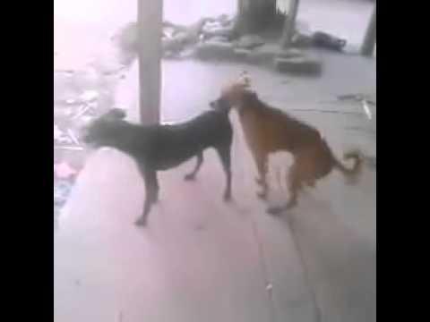 Perro bailando menea tu chapa - De Wilo D New