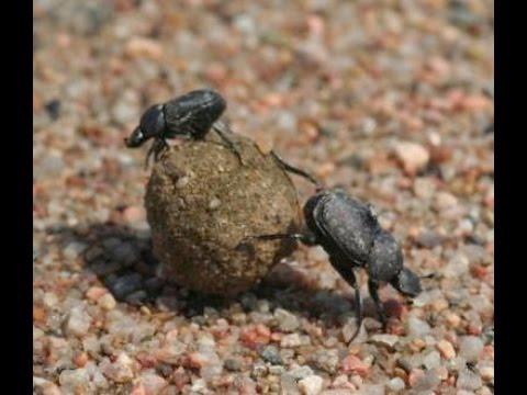 Dung beetle - சாணி வண்டு.