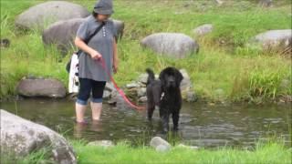 暑いので、ニューファンドランドのウズメを水遊びに連れて行きました。...