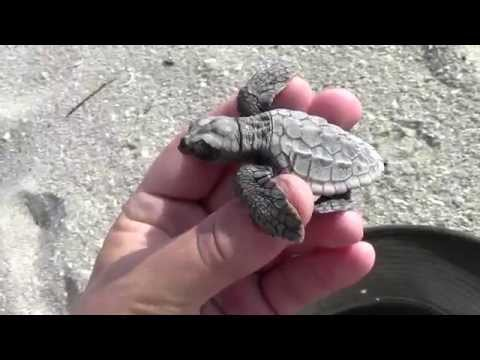 Loggerhead Sea Turtle Hatchling Rescue!!!