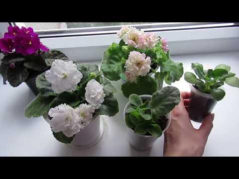 видео: Что выбрать?Фиалка взрослая цветущая,детка фиалки или листовой черенок.