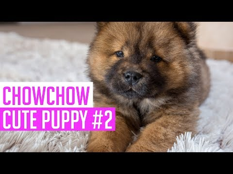 Best of Instagram - Chow Chow Puppy Cute and Funny Videos #2 (2018)