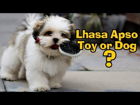 Lhasa Apso || Cutest Toy Breed || Tibetian Pet Dog || Nappets