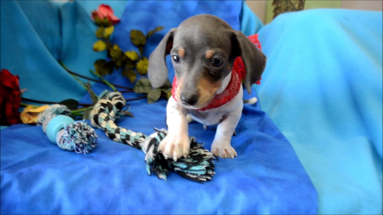 Hank AKC Blue Tan Piebald Miniature Dachshund SH Puppy for sale