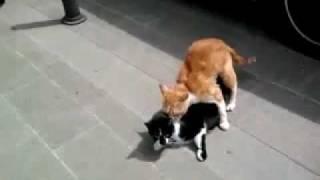 Porno Cat