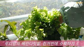 [베란다텃밭] 한꺼번에 수확하기 4(To harvest…