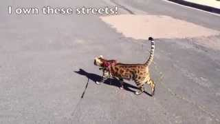 Bengal Cat, I Own These Streets