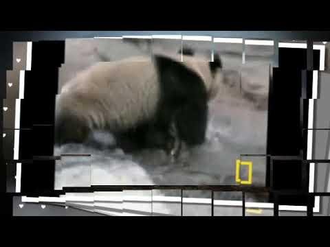 Большая Панда или бамбуковый медведь. В мире природы. ..Христианские слайды для детей.