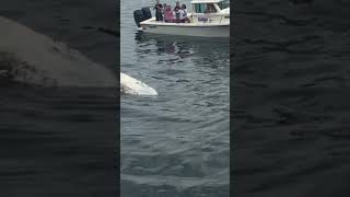 Great White Shark feeding on whale in Cape Cod - August 12, 2017
