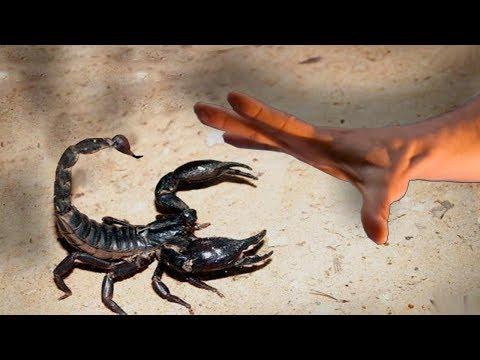El Escorpion Mas Peligroso Del Mundo Pica A Un Aventurero