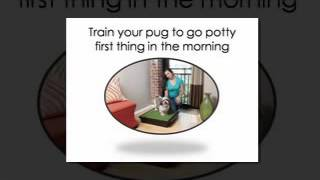 5 Pug Potty Training Tips and Tricks