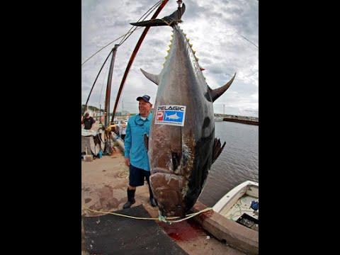 world s biggest tuna ever caught youtube