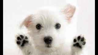 Все породы собак.Вест хайленд уайт терьер (West Highland White Terrier)