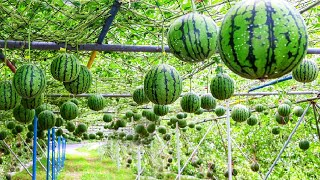 World's Most Expensive Wateŗmelon - Japanese Black Watermelon Cultivation - Black Watermelon Farm