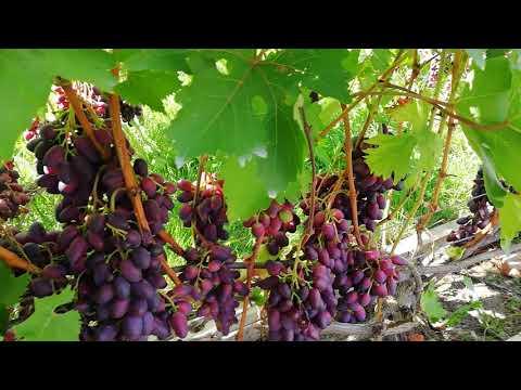 Виноград Красотка а Беларуси на конец августа