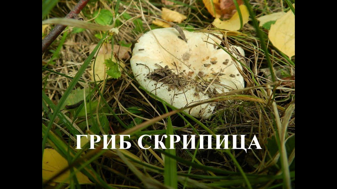 скрипица гриб фото и описание