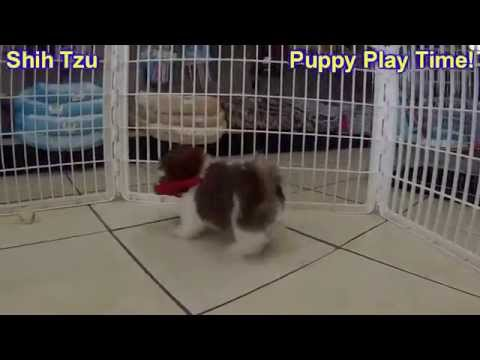 Shih Tzu, Puppies, Dogs, For Sale, In Miami, Florida, FL, 19Breeders, Tallahassee, Gainesville