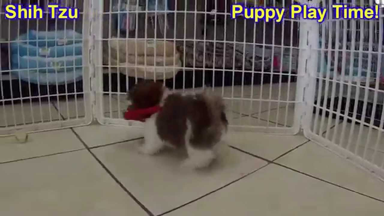 Shih Tzu Puppies Dogs For Sale In Miami Florida Fl 19breeders