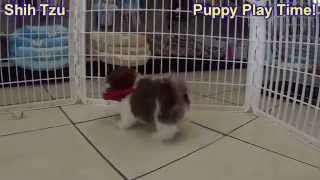 Shih Tzu, Puppies,for,sale, In,orlando Florida, Fl, Deltona,melbourne,palm Coast,