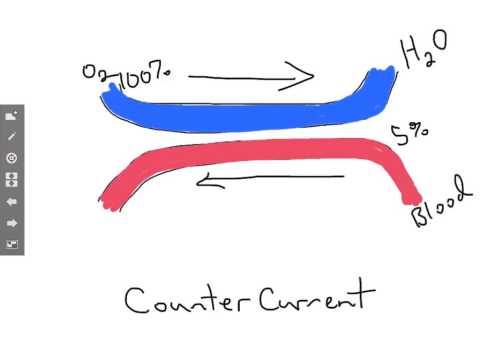 Countercurrent Blood Flow