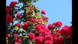 Rezidba Ruže - Sjeme d.o.o.