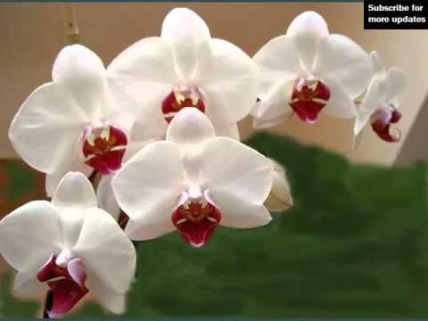 Orchid Flower | Beautiful Flower Picture Collection