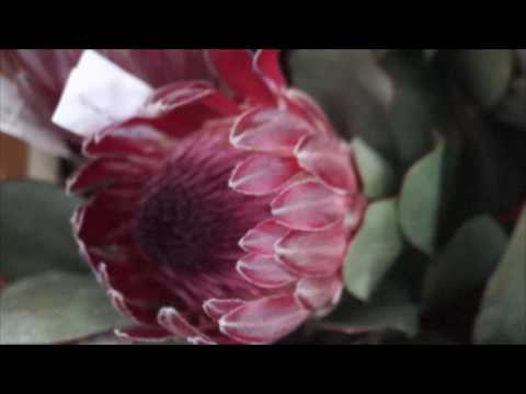 Купить протею  Protea cynaroides 'Madiba' в Минске