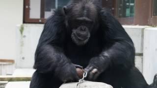 とべ動物園チンパンジーのロイ君です。 鉄球を使ってマカダミアナッツを...