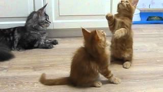 Котята мейн кун. Питомник Montaro