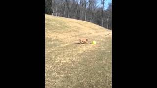More Of Brooksley The Vizsla And Her Varsity Ball