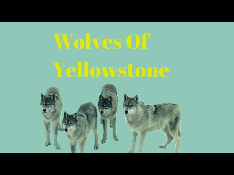 Wolves : A Look Into The Wolf Packs Of Yellowstone