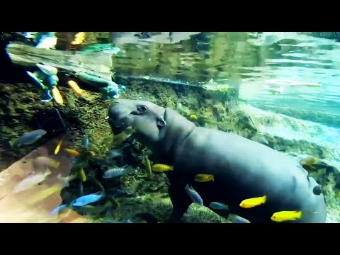 Happiest Hippopotamus in the world!