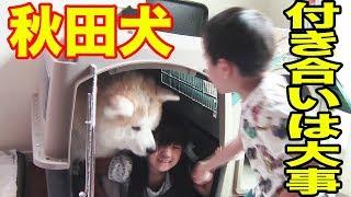 秋田犬惣右介君、面白く無い孫達の遊びに付き合います こんなんで喜んで...