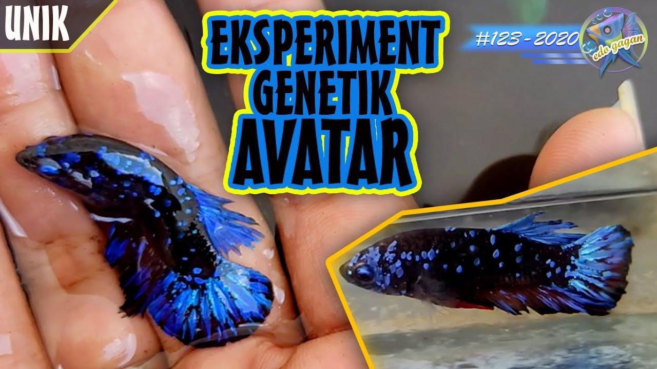 Akhirnya Nemu Genetik Avatar Dari Genetik Koi Galaxy Youtube