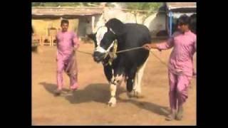 Tees Mar Khan for Eid Ul Azha (Bakra Eid) 2011 by Shah Cattle Farm, Karachi, Pakistan