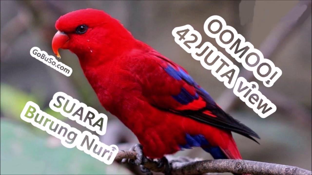 Parrot Relaxing Birdsong Music Suara Pikat Burung Nuri Merah Kepala Hitam Bisa Bicara Gacor Mp3 Youtube